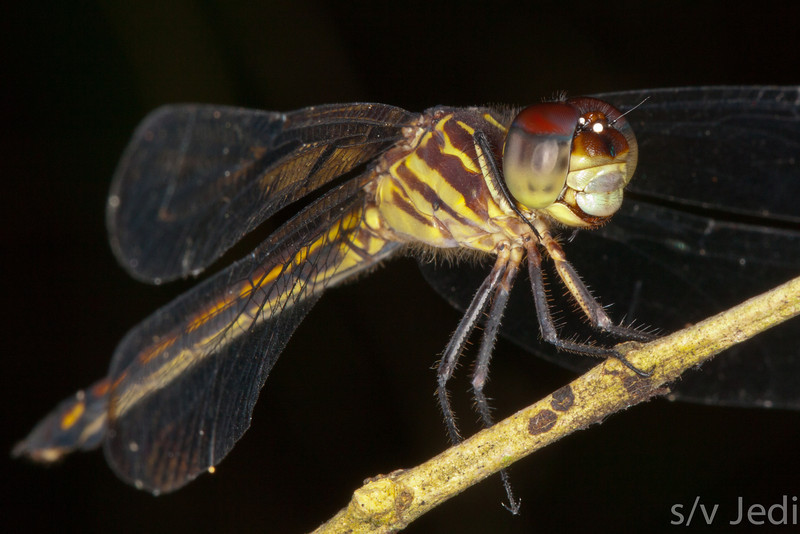 Tiger dragonfly. - Tiger dragonfly resting on a twig with black background in the rainforest of Colon, Panama.