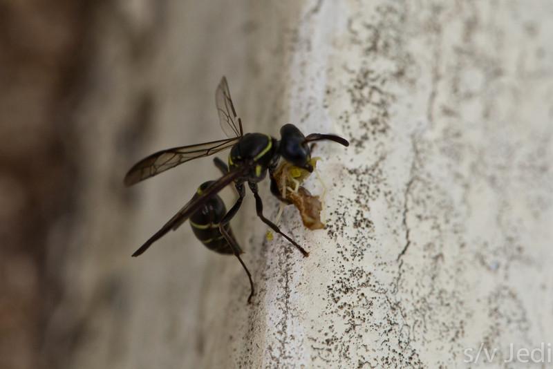 Mason wasp eating larvae in Panama rainforest - Female Mason wasp eating larvae at Fort Sherman, Colon, Panama. Black with yellow strips.