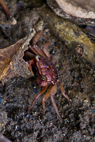Freshwater crab next to little river. - Freshwater crab with green eyes and two small front claws at Diablo beach, Panama