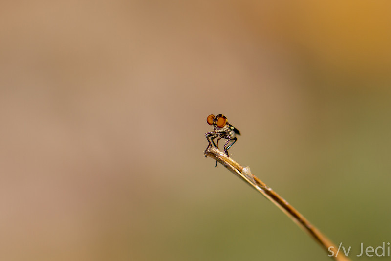 Tiny robber fly on tip of a blade of grass - Tiny robber fly in Panamanian rainforest