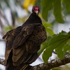 Turkey Vulture - This Vuture is not afraid of me, he's more curious