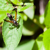 Black Wasp - Unidentified black wasp in the Panamanian rainforest