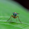 Green-eyed fly - Tiny green-eyed fly in Rainforest, Panama