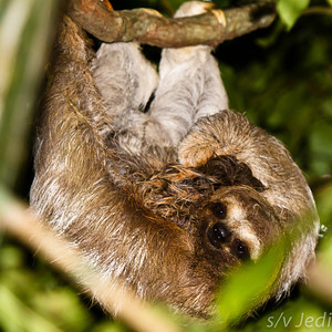 Mother sloth holding baby. - Mother three-toed sloth (Bradypus Variegatus) holding her just-born baby and looking at the camera in the rainforest of Colon, Panama.