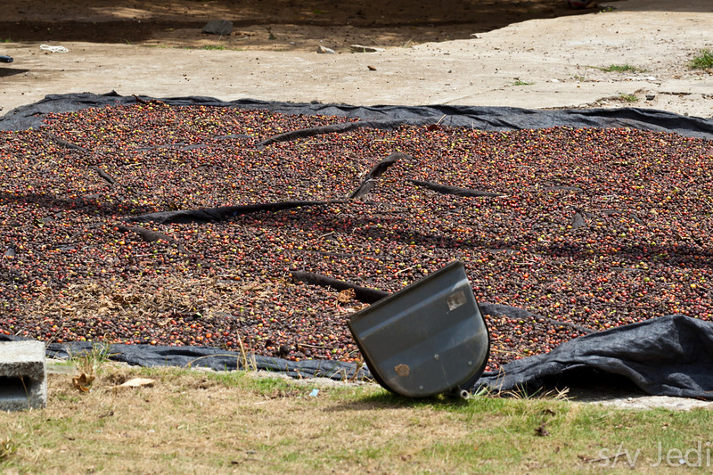 Small scale coffee bean harvest.