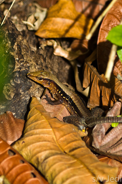 Delicate Whiptail lizard in Panama rainforest. - Delicate Whiptail lizard at Diablo beach, Fort Sherman, Colon, Panama. Ft Sherman was a US Army base to protect the Canal