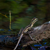 Jesus Christ lizard at small river. - Jesus Christ lizard ran over the water to this log at Diablo beach, Panama