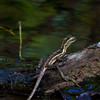 Jesus Christ lizard at small river. - Jesus Christ lizard ran over the water to this log at Diablo beach, Panama