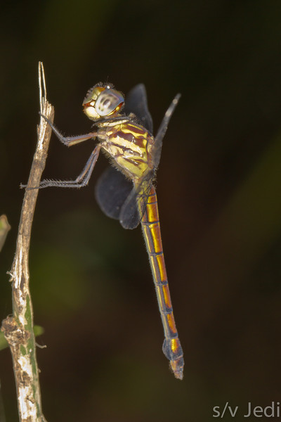 Tiger dragonfly in rainforest