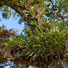 Epiphytes overgrowing host tree.