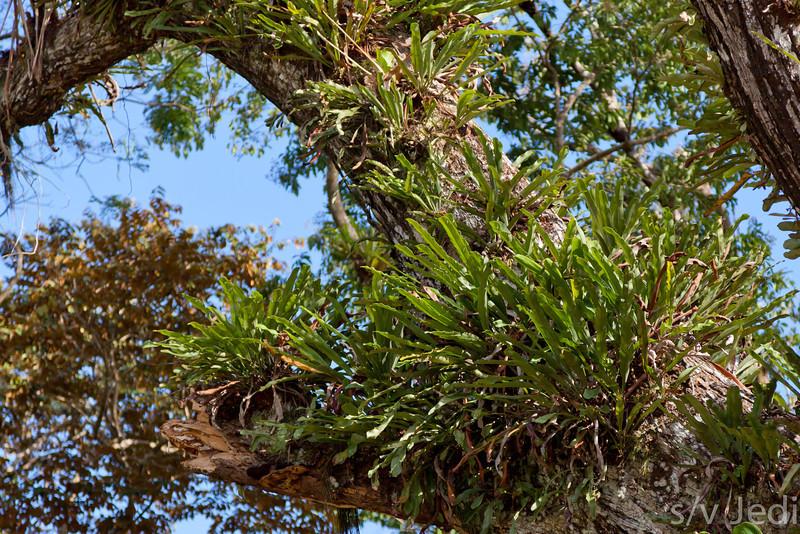 Epiphytes overgrowing host tree.