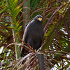 Common Mangrove Black Hawk in Palm tree. - Common Mangrove Black Hawk in Palm tree. Yellow bill and tallons. Fort Sherman, Colon, Panama. Ft Sherman was a US Army base to protect the Canal