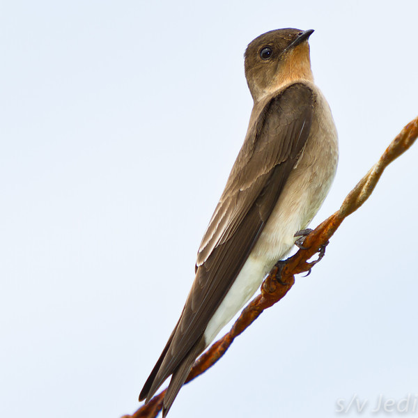 Southern rough-winged swallow. - Southern rough-winged swallow sitting on rusty razor wire with a white background in Fort Sherman in Colon, Panama.