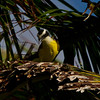 Kissdakee on the lookout near nest. - Kissdakee guarding nest at Diablo beach, Panama