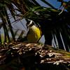 Kissdakee on the lookout near nest. - Kissdakee guarding nest at Diablo beach, Panama