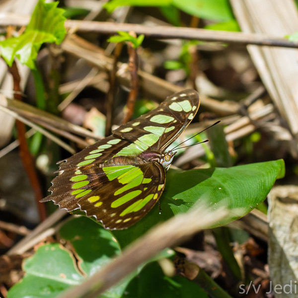 Malachite Butterfly - Malachite or green buttefly on green leaf