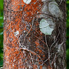 Red lichen growing on palm tree trunk.