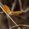 Tiny Metalmark butterfly in the wild. - Tiny Metalmark butterfly in rainforest at Ft Sherman, Colon, Panama