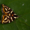 Neottropical moth in rainforest - Very small (less than a 1/4 inch) neotropical moth at Fort Sherman, Colon, Panama