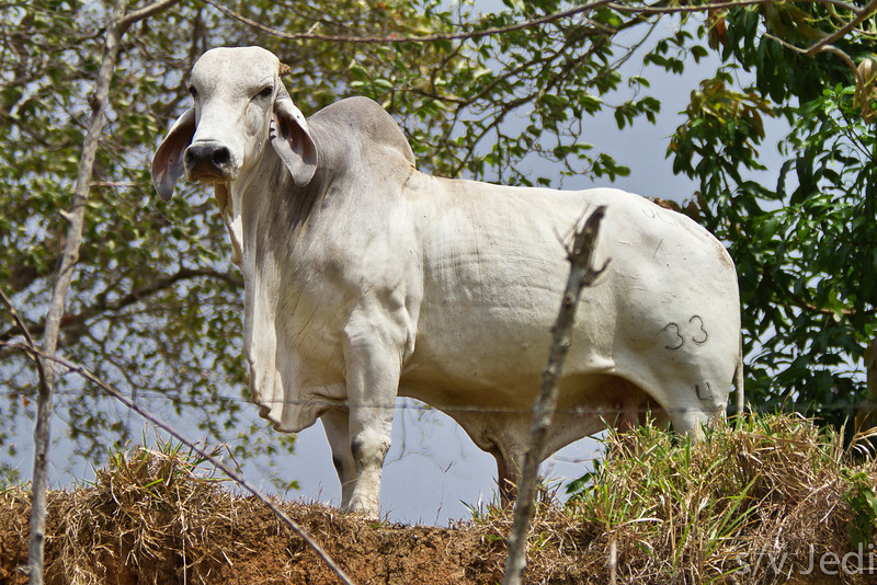 Proud Guzerat Bull - This breed came from India to the Americas.