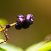 Purple Berry - Unidentified berry in the rainforest of Panama.