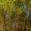 Bamboo in the rainforest of Panama.