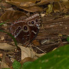 Blue Morpho butterlfy in Panama rainforest - Blue Morpho butterfly in Panama rainforest at Fort Sherman. Ft Sherman was a US Army base to protect the Canal.Underside of wings with circles.