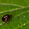 Shiny little beetle - Beetle with short flower-like antenas abt. 3 mm long