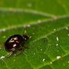 Shiny little beetle - Beetle with short flower-like antenas abt. 3 mm long