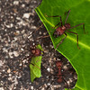 Leafcutter ants cutting leaf in rainforest - 3 leafcutter ants at work in the Panamanian rainforest at Fort Sherman, Colon, Panama