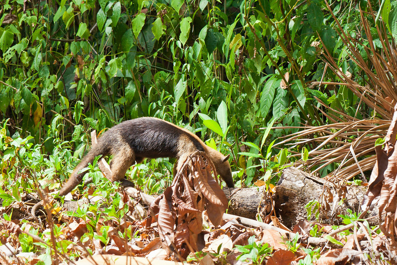 Young Anteater in Panama Rainforest - Young Anteater looking for food at Fort Sherman, Colon, Panama.