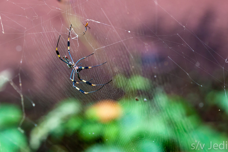 Male and female Golden silk spiders in web.