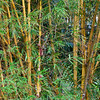Bamboo patch in the jungle of Panama.