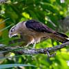 Young Yellow-headed Caracara in tree - Young Yellow-headed Caracara at Fort Sherman, Colon, Panama