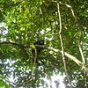 IMG_1076.JPG<br /> Strolling along the Rio Chagres.<br /> Monkeys