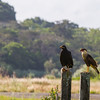 Black Hawk & Crested Caracara