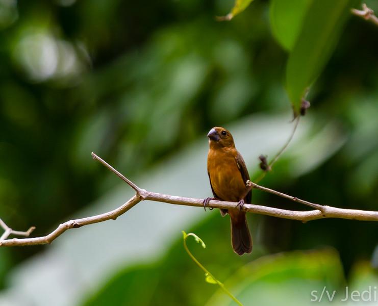 A female Lesser Seed Finch