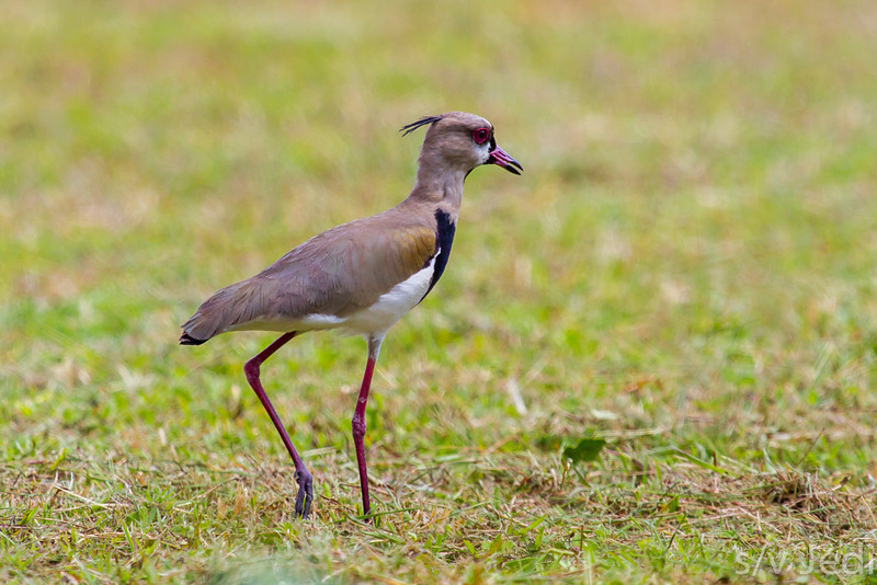 Southern Lapwing on a stroll - Southern Lapwing looking for food in the recently mown grass.