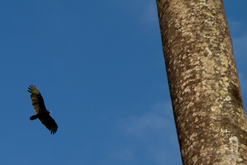 Walking along the edge of the jungle<br /> And then this Turkey Vulture does some fly overs. With the big lens packed, this was all we could capture.