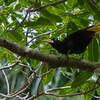 Yellow-rumped Cacique - Yellow-rumped Cacique with yellow beak and yellow tail