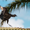 Vulture landing on a roof - Black Vulture landing on a corrugated iron roof