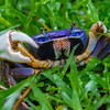 Blue landcrab - Blue Landcrab hiding in the grass