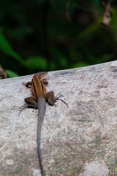 Panamanian Whiptail Lizard - Brown/orange lizard with blue/gray tail in rainforest