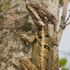 Basilisk Lizard - The Basilisk Lizard is well camouflaged against the tree