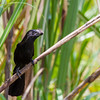 A Smooth billed Ani between the high grass - This Smooth billed Ani loves to hide between the cane and grass