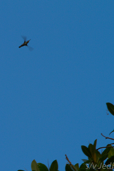 This big hummingbird was shot at 1/250 shutter speed but the wings are still a blur.