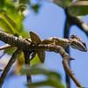 Basilisk Lizard - A Basilisk Lizard sunbathing in a tree in El Vall d'Anton, Panama