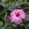 Hibiscus Flower - A pink/purple Hibiscus flower in El Valle d'Anton, Panama