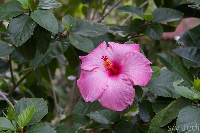 Hibiscus Flower - A pink/purple Hibiscus flower in El Valle d'Anton, Panama