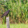 Black Hawk - A Black Hawk with it's prey
